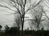 大量出售10公分榉树价格低廉