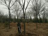 10  15  20公分朴树基地苗圃简介 朴树价格公布