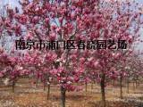 3公分直径红玉兰价格/服务红玉兰9公分今年报价