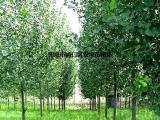 美国黑核桃树价格 询: