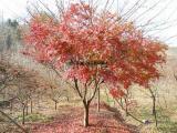 红枫树价格 询: