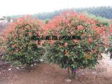 红叶石楠【球、树】价格信息