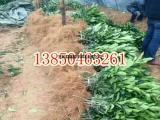 三红柚子苗