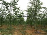 |榉树价格|一览