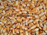 惠侬饲料厂大量求购玉米 菜籽饼 大豆 小麦 高粱 棉粕 碎米