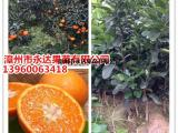 本苗场大量爱媛38号柑橘苗出圃了,爱媛38号苗价格多买多便宜