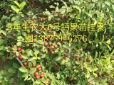 钙果苗 1年钙果苗价格 钙果苗哪里有卖 钙果苗种植基地
