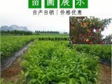 产地直供沙糖桔苗,两年生沙糖桔苗价格多少