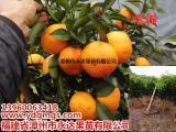 新品种沃柑苗价格一棵多少,八月份沃柑苗价格更优惠哦