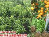 福建沙糖桔苗基地出售三年生沙糖桔苗,买沙糖桔苗就找永达苗场