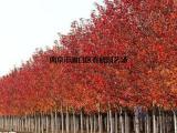 美国红枫树价格【综合化推广】
