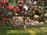 占地山楂树价格=5公分山楂树10公分山楂树15公分山楂树价格
