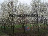 【更新】白玉兰树的价格行情//南京白玉兰基地价格