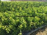 四川茂谷柑苗如何种植成活,供应正宗茂谷柑果树苗