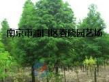 12公分水杉苗木市场价格//变动行情