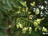 常年供应双效树种双季槐
