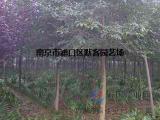 南京苗圃栾树价格表