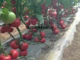 智谷918大红番茄,抗TY抗线虫