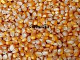现款求购:玉米 菜饼 小麦 高粱 大豆 棉粕 麸皮