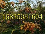 大红袍花椒苗基地,大红袍花椒苗价格,哪有纯正的大红袍花椒苗