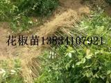 0.5公分粗花椒苗 50公分花椒苗 50-80公分花椒苗价格