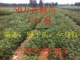 0.4粗花椒苗=50高花椒苗价格=花椒苗基地好品种花椒苗批发
