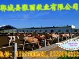 改良利木赞牛饲养技术