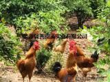 山林散养东乡土鸡(传统养殖纯粮喂养自然成长无激素)