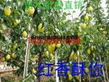 供应梨树苗=红香酥梨树苗=红香酥梨树苗价格=纯正红香酥梨树苗