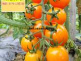超高品质极甜水果小番茄品质现代立新黄小蜜寻订单生产