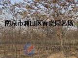 江苏【南京】榉树市场价格是多少