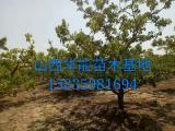 供应山楂树=主杆形山楂树=绿化用山楂树+山楂树价格