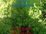 供应山杏苗,土杏苗,山杏苗价格,0.5粗山杏苗,山杏小苗