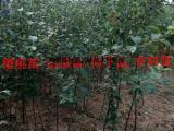 供应优质苹果苗/ 1米高苹果苗/ 苹果苗价格/短枝富士苹果苗