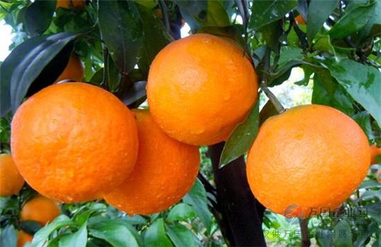【红美人柑橘苗批发】红美人柑橘苗出售,红美人柑橘苗供应