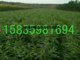 供应皂角苗=药用皂角苗=大刺皂角苗=皂角苗价格=2年皂角苗