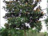 12公分广玉兰价格 2017广玉兰树价格更新