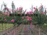 紫薇树6公分紫薇价格///是多少