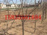 供应甜柿子苗=阳丰甜柿子苗价格=供应柿子树=柿子树价格
