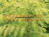 金叶水杉 三季黄叶杉树 黄金枫 黄叶行道树 常绿绿化苗供应