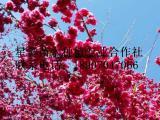 台湾牡丹樱 红花重瓣樱花 中国红樱花 常绿观花工程树供应