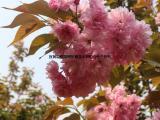 速生中华晚樱 红花中华晚樱 重瓣红花樱花 速生红花樱花