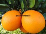 【纽荷尔脐橙种苗】找福建永达果苗有限公司