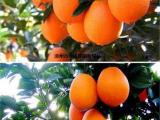 纽荷尔脐橙树苗哪里有,纽荷尔脐橙苗木