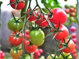 超优质樱桃小番茄圣女果西红柿品种广西现代立新美娜供应价格
