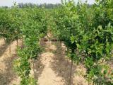 万千榴业 正宗河阴软籽石榴苗 一年苗 60公分高 成活率高