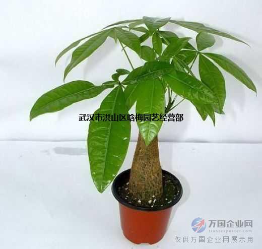 武汉大型粗杆幸福树盆栽送货上门,大小幸福树杆多绿宝