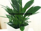 适合公司摆放的中型植物滴水观音盆栽,武汉大小型滴水观音龟背竹