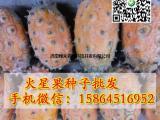火星果种子 火参果 海参果 非洲黄瓜 金刺猬种子 蔬菜种子