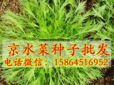 京水菜种子_水晶菜_白茎千筋_特菜种子_野菜
